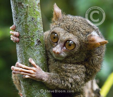 Spectral tarsier Tarsier Sulawesi Indonesia