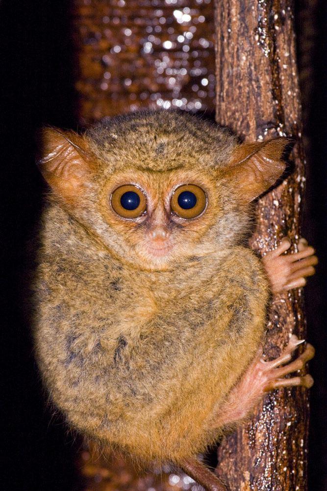 Spectral tarsier Tarsier tarsier Spectral tarsier Tangkoko Sulawesi IMG9907jpg