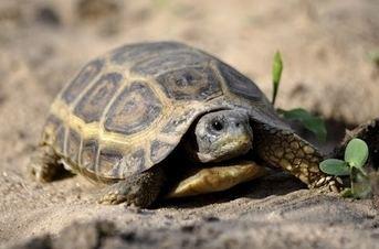 Speke's hinge-back tortoise FreshMarinecom Speke39s Hingeback Tortoise Kinixys spekii Buy