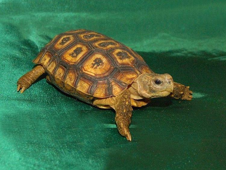 Speke's hinge-back tortoise Speke39s Hingeback Tortoise for sale from The Turtle Source