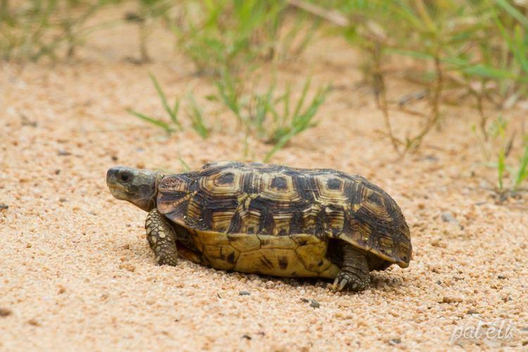 Speke's hinge-back tortoise Wildlife Den South African Wildlife Photography Spekes Hingeback