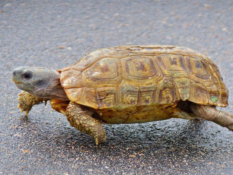 Speke's hinge-back tortoise FileSpeke39s Hingeback Tortoise Kinixys spekii 14027958683jpg