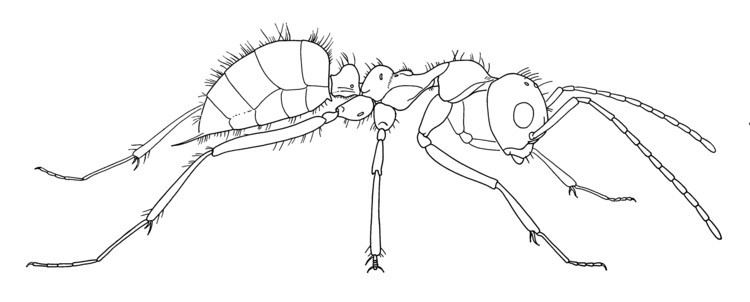 Sphecomyrma FileSphecomyrma freyi worker no 1 drawing Wilson Carpenter and