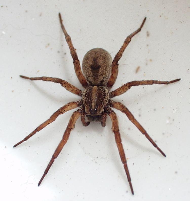 Spider Wolf spider Wikipedia