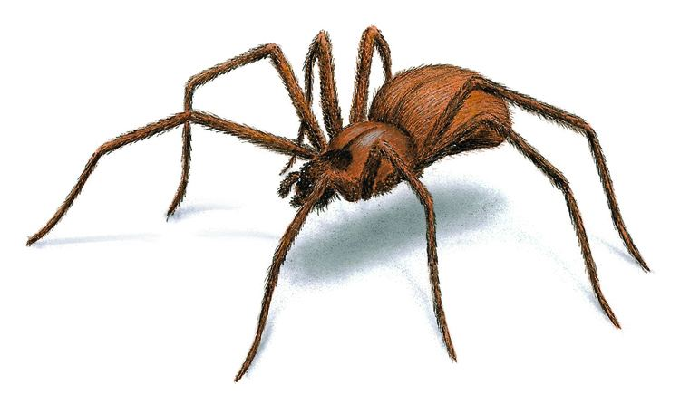 Spider Brown Recluse Spiders Facts Identification Behavior amp Control
