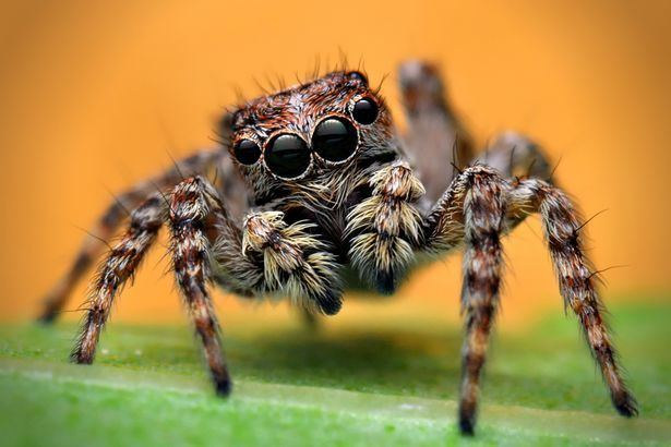 Spider Jumping spiders spotted in Britain for the first time can JUMP 40
