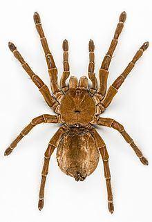 Spider Spider Wikipedia
