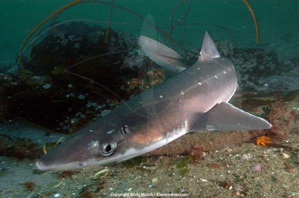 Spiny dogfish North Pacific or Spotted Spiny Dogfish Pictures Images of Squalus