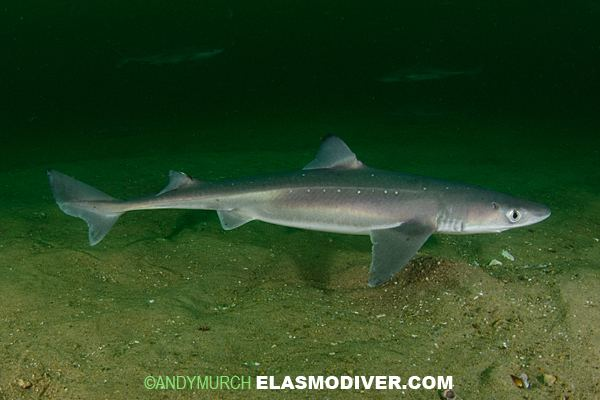 Spiny dogfish Spiny Dogfish Squalus acanthias