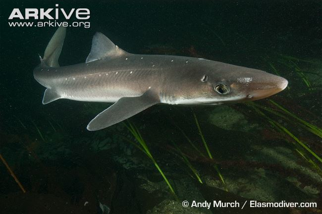 Spiny dogfish Spiny dogfish videos photos and facts Squalus acanthias ARKive