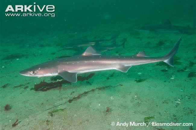 Spiny dogfish Spiny dogfish photo Squalus acanthias G14743 ARKive