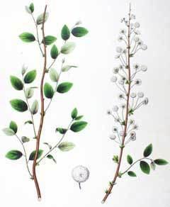 Spiraea prunifolia wwwpfaforgAdminPlantImagesSpiraeaPrunifoliajpg