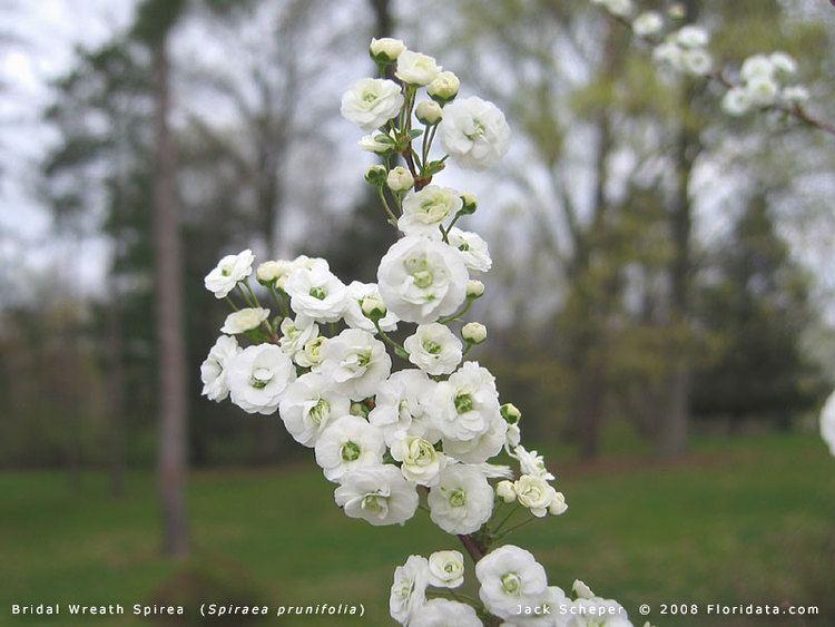 Spiraea prunifolia Spiraea prunifolia