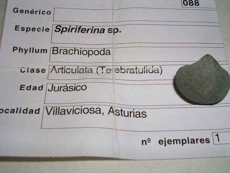Spiriferina FileSpiriferina sp4 JurasicoJPG Wikimedia Commons