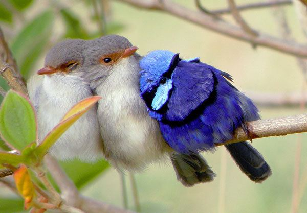 Splendid fairywren Splendid Fairywren Bird Nut Blog