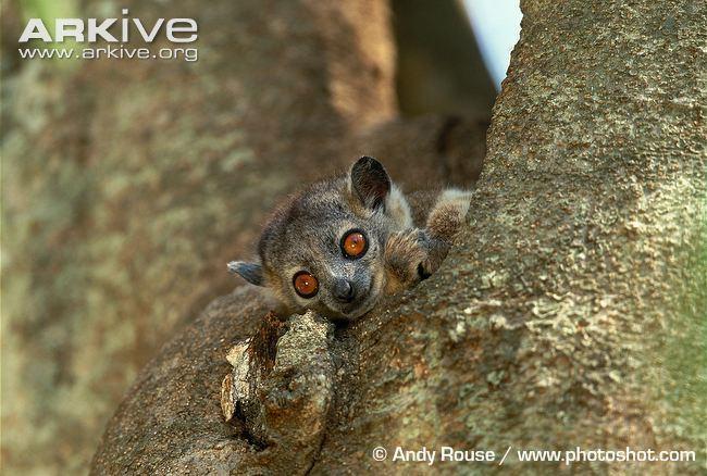 Sportive lemur Northern sportive lemur videos photos and facts Lepilemur