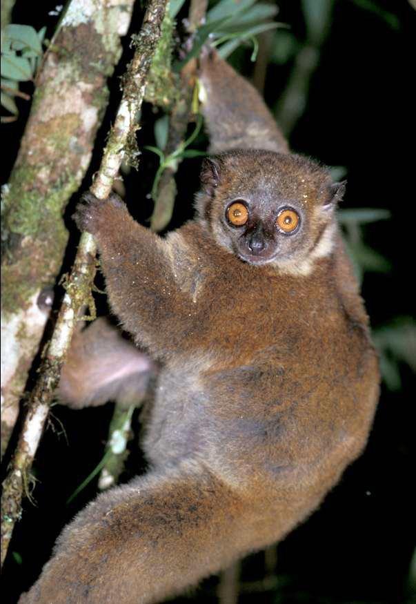 Sportive lemur httpsuploadwikimediaorgwikipediacommonsbb