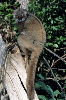 Sportive lemur Sportive lemur Wikipedia