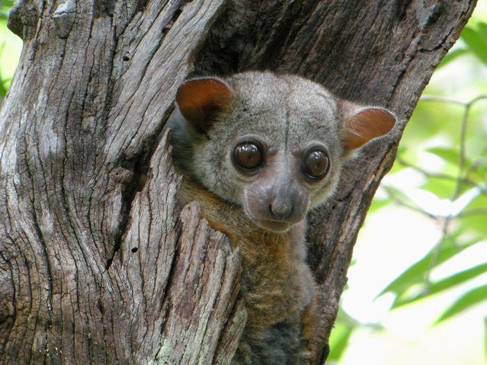 Sportive lemur Lepilemuridae sportive lemurs Wildlife Journal Junior