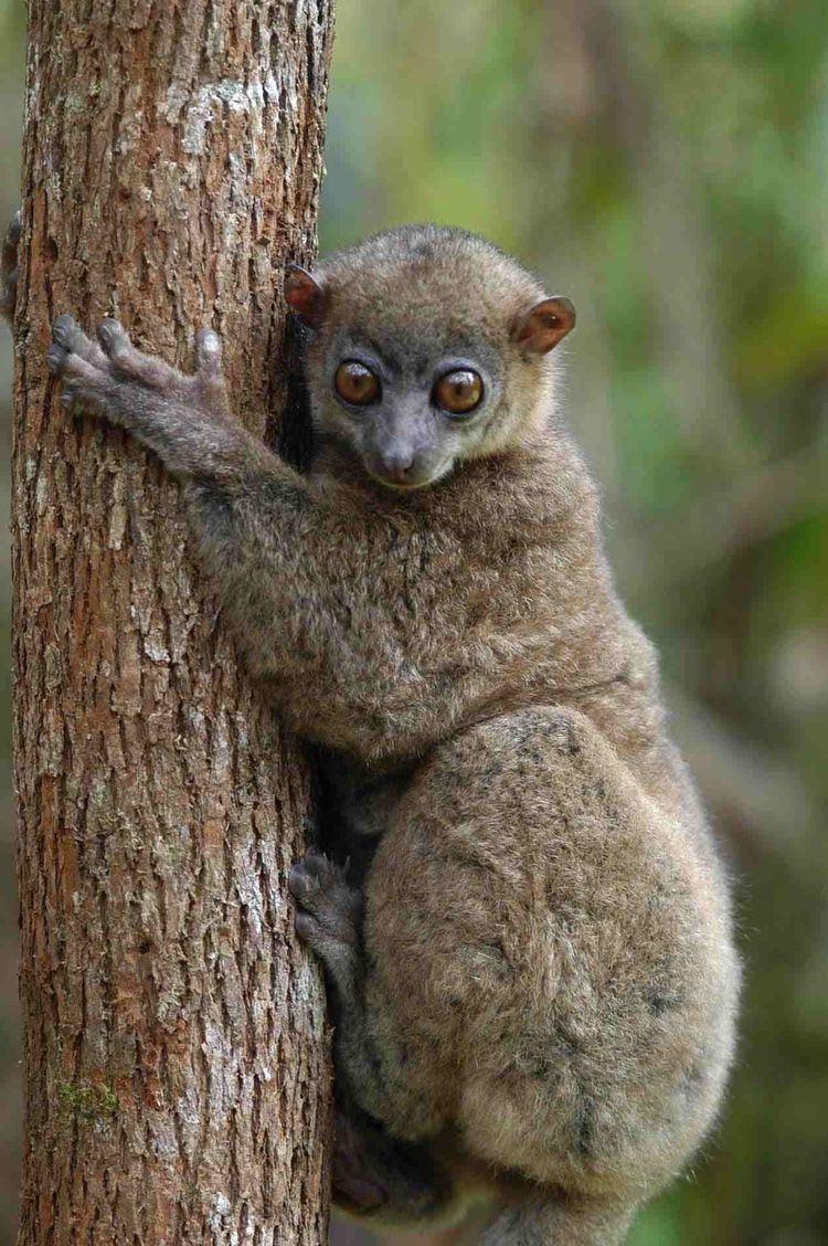 Sportive lemur ver 1 000 bilder om Primates Old World Northern Sportive Lemur