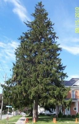 Spruce NorwaySprucecom World Wide resource for Norway Spruce