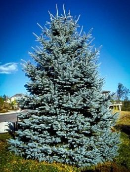 Spruce Buy Spruce Trees Online The Tree Center
