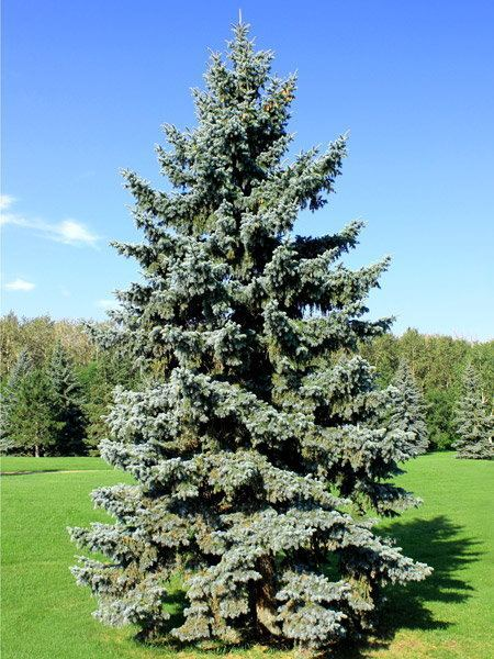 Spruce Spruce Trees TreeTimeca