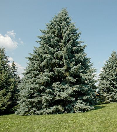 Spruce What is spruce decline and what should you do about it MSU Extension