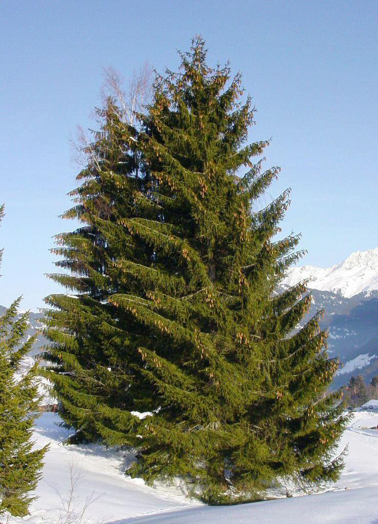 Spruce httpsuploadwikimediaorgwikipediacommons88