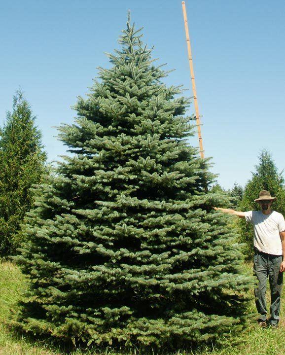 Spruce Spruce Fir Pine Eastern Red Cedar Evergreen Tree Nursery Stock