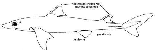 Squalidae SQUALIDAE
