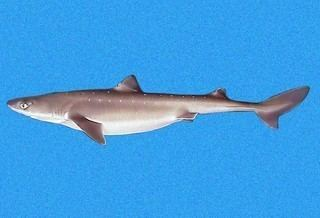 Squalidae Squalidae Dogfish Sharks Discover Life