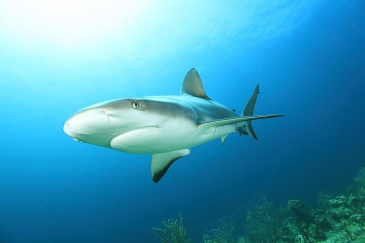 Squaliformes Shark Defenders ACTION ALERT Testimony needed to add Squaliformes
