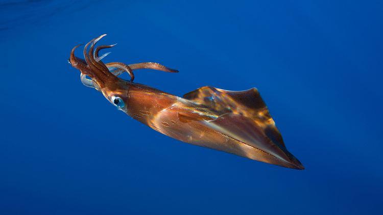 Squid Giant Squid
