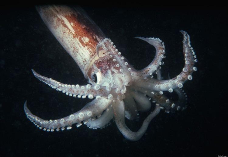 Squid New Squid Exhibit News Huntsman Marine Science Centre St