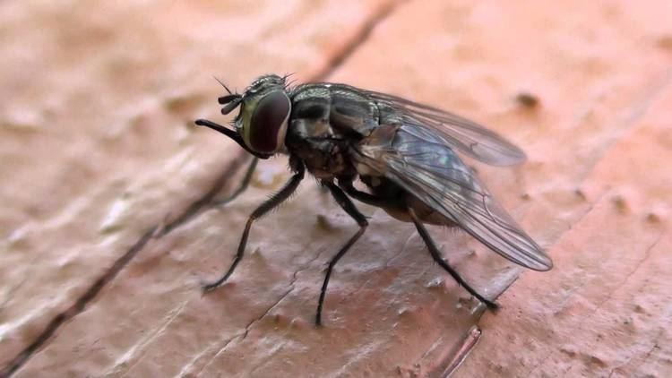 Stable fly Stable Fly Muscidae Stomoxys calcitrans Lateral Closeup YouTube