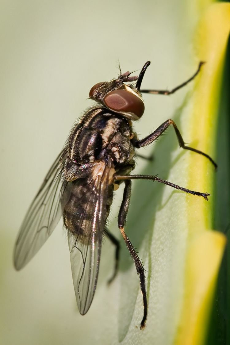 Stable fly Stable fly Wikipedia