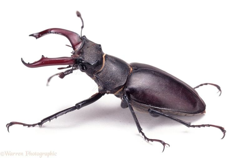 Stag beetle Stag Beetle photo WP04158