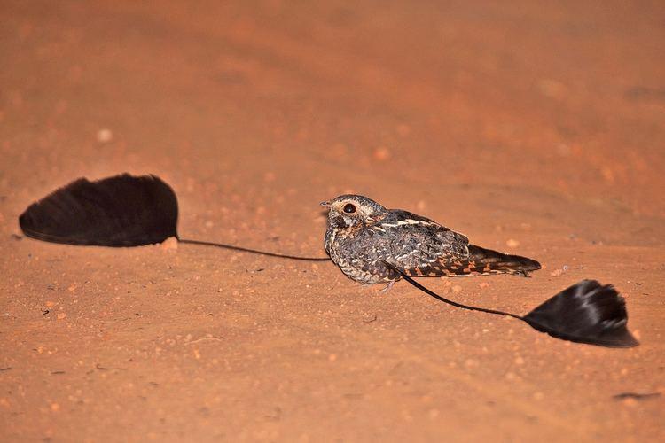 Standard-winged nightjar Standardwinged Nightjar Photo credit NatureUganda MFNP Flickr