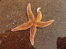 Starfish httpsuploadwikimediaorgwikipediacommonsthu