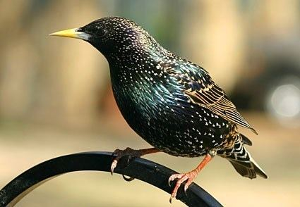 Starling European Starling Identification All About Birds Cornell Lab of