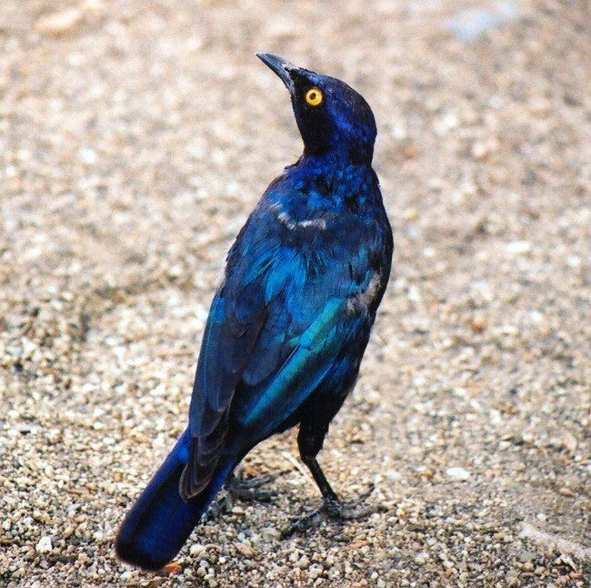 Starling Starling Wikipedia