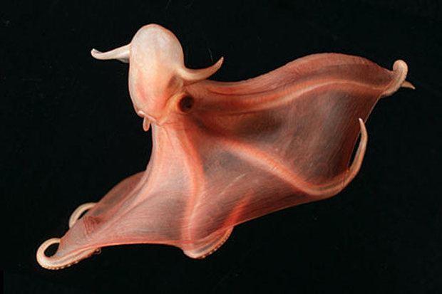 Stauroteuthis syrtensis - Alchetron, the free social encyclopedia