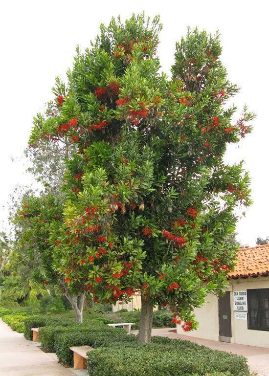 Stenocarpus sinuatus - Alchetron, The Free Social Encyclopedia