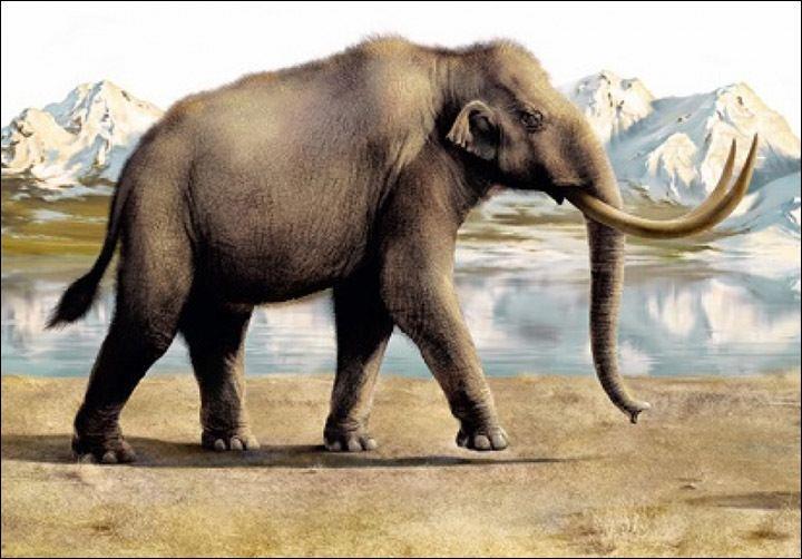 pennis af elefant