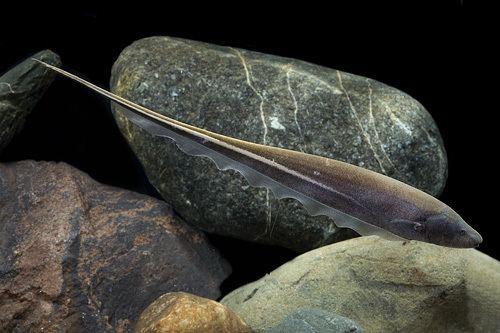 Sternopygus picture of Gold Stripe Knife Xlg Sternopygus macrurus Pinterest
