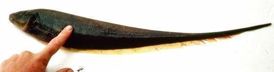 Sternopygus ADW Sternopygus macrurus INFORMATION