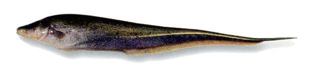 Sternopygus Sternopygus macrurus Picture FishWise Pro