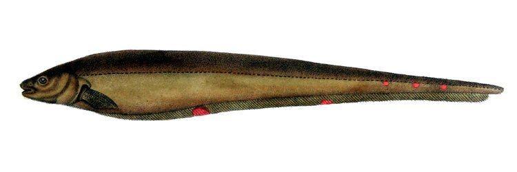 Sternopygus httpsuploadwikimediaorgwikipediacommons00