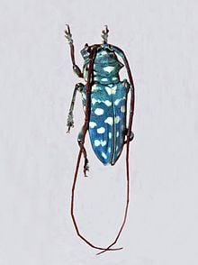 Sternotomis itzingeri httpsuploadwikimediaorgwikipediacommonsthu
